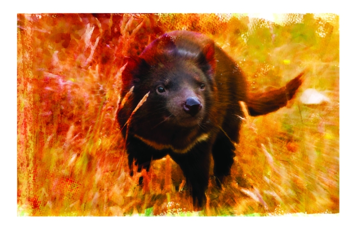 M Cannon Tasmanian Devil Study#1